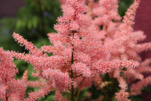 Astilbe 'Rhythm and Blues'