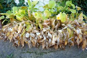 To samo koryto jesienią. Liście host po większych, jesiennych  mrozach należy wyciąć przed zimą
