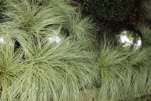Carex comans 'Frosted Curls'