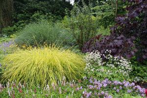 Carex elata 'Aurea' w zestawieniu z roślinami o zielonych i purpurowych liściach