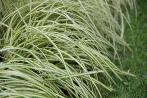 """Carex 'Evergold"""" ma różnorodne zastosowanie, nawet na skalniaki i obwódki"""