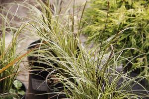 Carex riparia - turzyca brzegowa