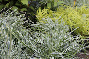 Carex oshimensis 'Everest' w towarzystwie Hakonechloa macra 'All Gold'