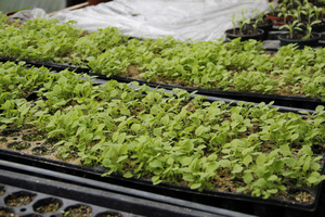 Nie wszystkie rośliny pikujemy do doniczek lub skrzynek, niektóre - posiane dość późno możemy od razu przesadzać do gruntu