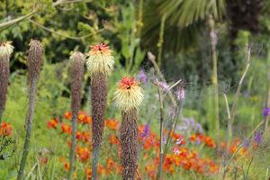Trytoma groniasta - Kniphofia uvaria ma egzotyczne pochodzenie i fascynujący kolor