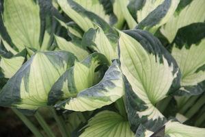 Słońce lub cień  to podstawowe warunki decydujące o doborze roślin. Na zdjęciu Hosta 'Whirlwind'