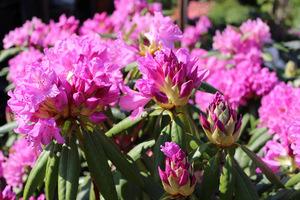 Na kwaśne i żyzne gleby posadzimy zimozielone różaneczniki