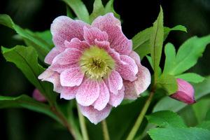 Jeśli zależy nam na ogrodzie ozdobnym wiosną, sadzimy w przewadze gatunki wiosenne, np. ciemierniki