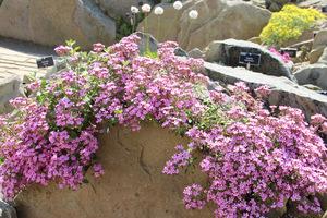Saponaria ocymoides zarasta szczeliny