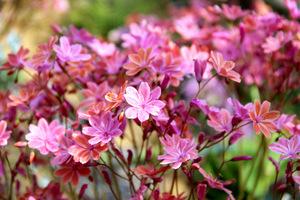 Lewizje to idealne rośliny do ogródków szczelinowych