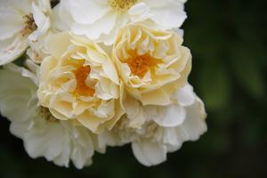 """Rosa 'Goldfinch' oferuje kwiaty w pastelowych, """"śmietankowych"""" barwach i wspaniały zapach"""