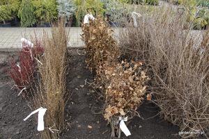 Wczesna wiosna i późna jesień to dobra pora na sadzenie żywopłotów liściastych z gołym korzeniem.
