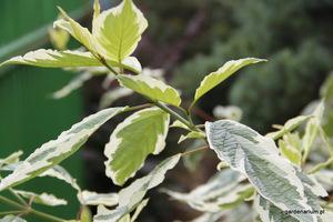 Dereń biały 'Elegantissima' oprócz kolorowych gałązek ma biało obrzeżone liście