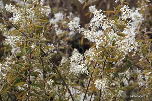 Świdośliwa jest korzystna dla ptaków ponieważ ma atrakcyjne owoce