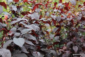 Śliwa  wiśniowa 'Pissardii' ma bordowe liście i różowe kwiaty wiosną