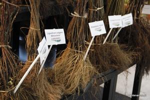 Sadzonek z nagim korzeniem nie trzymamy na sucho, powinniśmy je zadołować