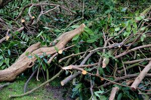 Pora cięcia jak w przypadku cięcia pielęgnacyjnego - koniec zimy, wczesna wiosna, kiedy rośliny śpią
