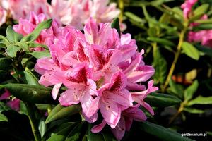 Cięcia kształtującego najlepiej dokonać późną zimą, kiedy roślina jest w stanie spoczynku. Spodziewajmy się wtedy mniejszej ilości kwiatów w danym roku