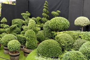 Bukszpanowe topiary