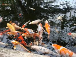 Uważamy, aby nie przekarmić ryb