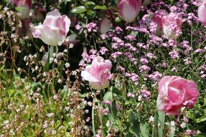 Tulipan 'Innuendo', różowe niezapominajki i skalnica