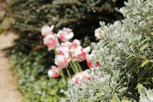 Tulipan 'Shirley' ma atrakcyjne ubarwienie, jest lekko zabarwiony na brzegach fioletem czy różem i w tej kompozycji ma za towarzystwo krzew o srebrnym ulistnieniu
