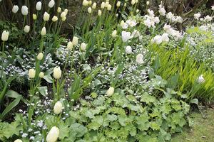 Białe tulipany 'Mondial', przywrotniki ostroklapowe i białe niezapominajki