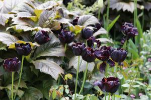 Czarny tulipan 'Paul Scheerer' i brązowe liście rodgersji