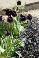 Doskonała czerń czyli tulipan z konwalnikiem