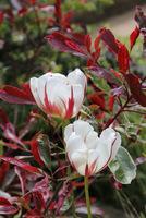 Tulipany i głogownik