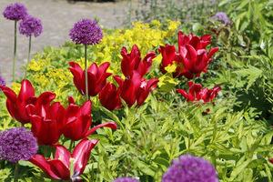Tulipany i czosnki