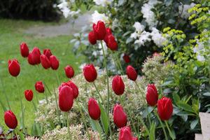 Czerwone tulipany, pieris o różowych przyrostach, a w tle biało kwitnący różanecznik