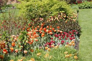 Tulipany pomarańczowe i czerwone w towarzystwie krzewów o bordowym ulistnieniu (berberys, głogownik, ale może też być perukowiec)