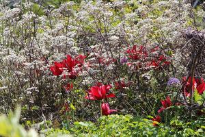 Czerwone tulipany i trybula leśna o prawie czarnych listkach