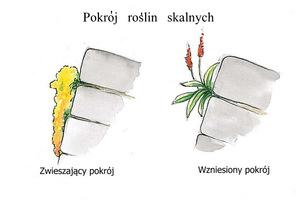 W szczeliny najbardziej nadają się byliny o pokroju zwieszającym