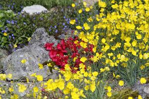 Ranunculus gramineus i Allium glaucum 'Flavum'