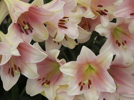 Kwitną lilie, pojedyncze, przekwitnięte kwiaty obrywamy