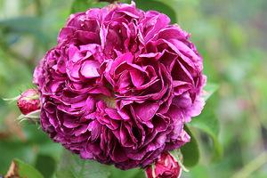 "Róża 'Charles de Mills"" również skradła moje serce"
