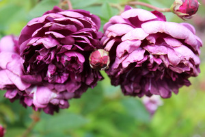 Idąc tropem róż fioletowych zachwyca mnie 'Cardinal de Richelieu'