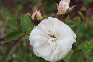 Róża 'White Moss'