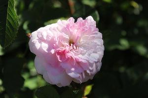 'Rosemoor'