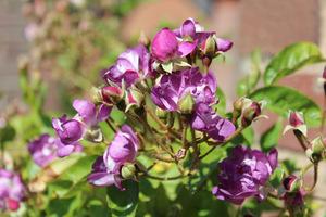 'Veilchenblau' to skupiska małych, stulonych, niebieskich kwiatów, które zmieniają kolor wraz z przekwitaniem