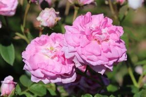 'Ispahan' - róża damasceńska