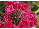 Możemy ściąć floksy po pierwszym kwitnieniu, aby ograniczyć mączniaka