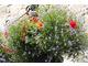 Delikatność laurencji zatokowej i moc kolorowych begonii