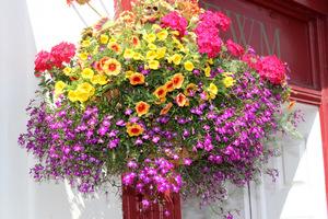 Burza kwiatów, gdzie główną role gra fioletowa lobelia