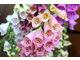 Kolor kwiatów naparstnic może być biały, różowy, morelowy, czerwony, purpurowy