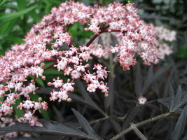 "Sambucus nigra ""Black Lace"""