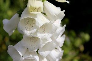 Białe kwiaty naparstnicy doskonale pasują do wszelkich zestawień z bylinami i różami