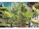 Przenosimy rośliny śródziemnomorskie na zimowy spoczynek